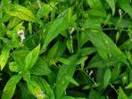 Sambiloto sebagai Obat Herbal untuk Ramuan Penurun Demam