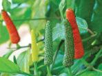 Cabe Jawa sebagai Obat Herbal untuk Ramuan Penurun Demam
