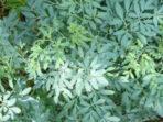 Penggunaan Inggu sebagai Obat Herbal Untuk Ramuan Sakit Kepala Tujuh Keliling
